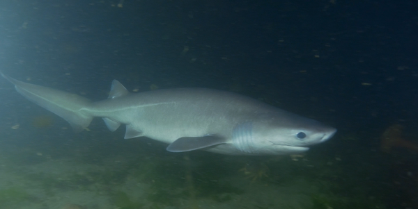 <p>A sixgill shark, photographed in Puget Sound.</p>
