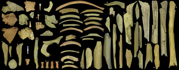 The highly fragmented Neanderthal bone collection from the Troisième caverne of Goyet. The bones belonged to at least five individuals. Those with an asterisk were directly dated to 40,500–45,500 years ago. Scale = 3 cm.