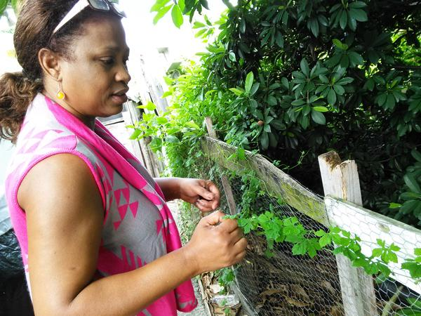 Audrey Rowe is Jamaican. She is picking cerasee to use in a bush bath for a rash.