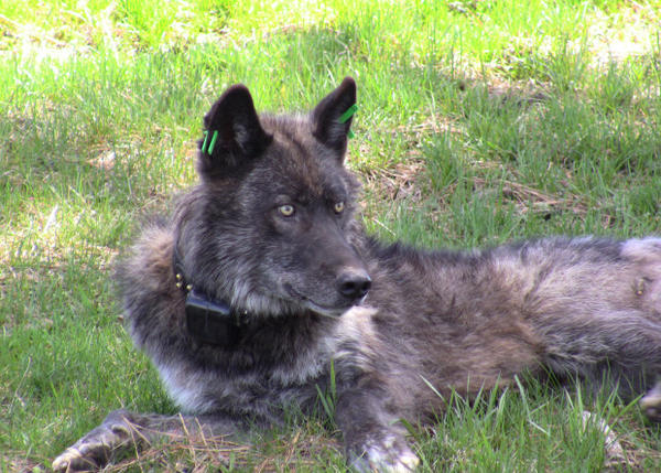 <p>The Imnaha wolf pack's alpha male after being refitted with a working GPS collar on May 19, 2011. </p>