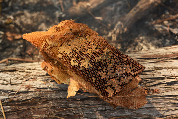 Part of the honey harvest from a wild bees' nest in the Niassa National Reserve, Mozambique.