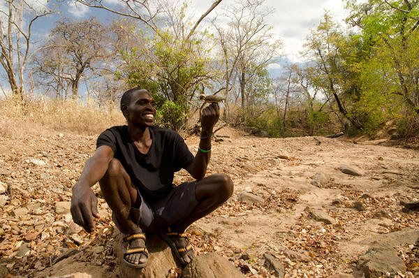 Yao honey-hunter Orlando Yassene holds a male greater honeyguide temporarily captured for research in the Niassa National Reserve, Mozambique. The birds will flutter in front of people, tweet, and fly from tree to tree to guide hunters to bees' nests that are hidden inside the trunks of hollow trees. This teamwork could date back thousands or even a million years.