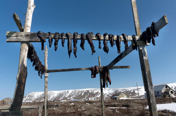 Walrus, shown here on a drying rack, represents a major source of nutritious food for many in Alaska's St. Lawrence Island. In recent years, warmer temperatures have pushed the sea ice further from St. Lawrence's shores, making walrus hunting more challenging. This shortfall has led to increased food insecurity on the island.