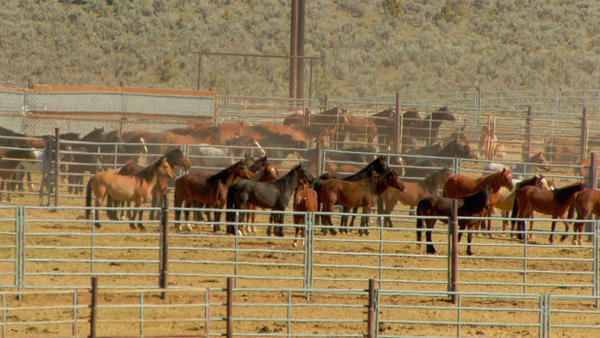 <p>The collection of pens at the Oregon BLM corrals near Burns have held from 600 to more than 1000 horses at a time in recent years.</p>
