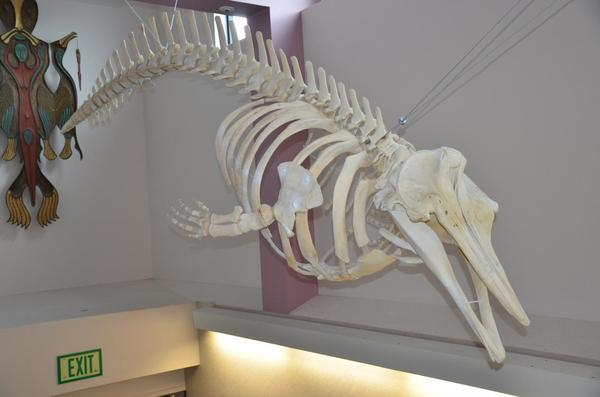 The only skeleton of the new species in the United States hangs on display in Unalaska High School, in Alaska's Aleutian Islands. The whale was found dead in 2004, and recent tests on stored tissue samples revealed that it is one of the few known specimens of the new species.