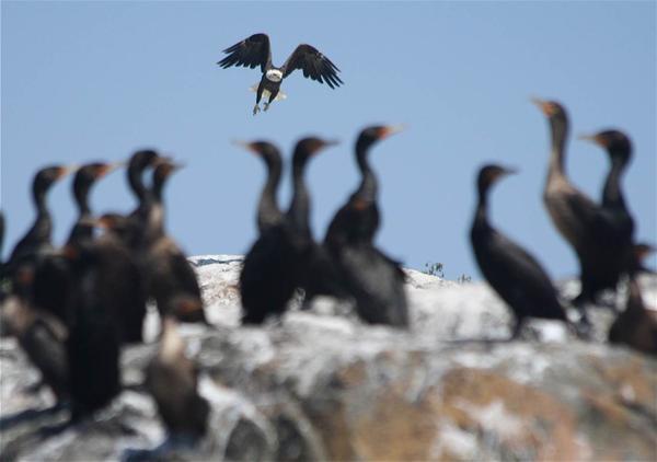A bald eagle soars over double-crested cormorants off Vinalhaven.