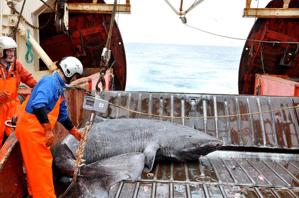 A Greenland shark caught as bycatch from research vessel Pâmiut in southwest Greenland.