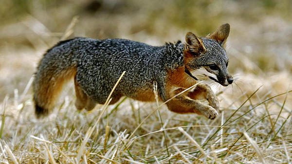 "A Santa Catalina Island fox pup dashes into the wilderness after being released on Santa Catalina Island off the coast of Southern California. The Catalina Island fox was one of the world's most endangered species, but it has been upgraded to ""threatened."""