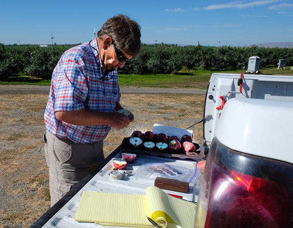 Ken Agnew, a horticulturist for Stemilt Growers, tests apples in the orchard for firmness and sugar.