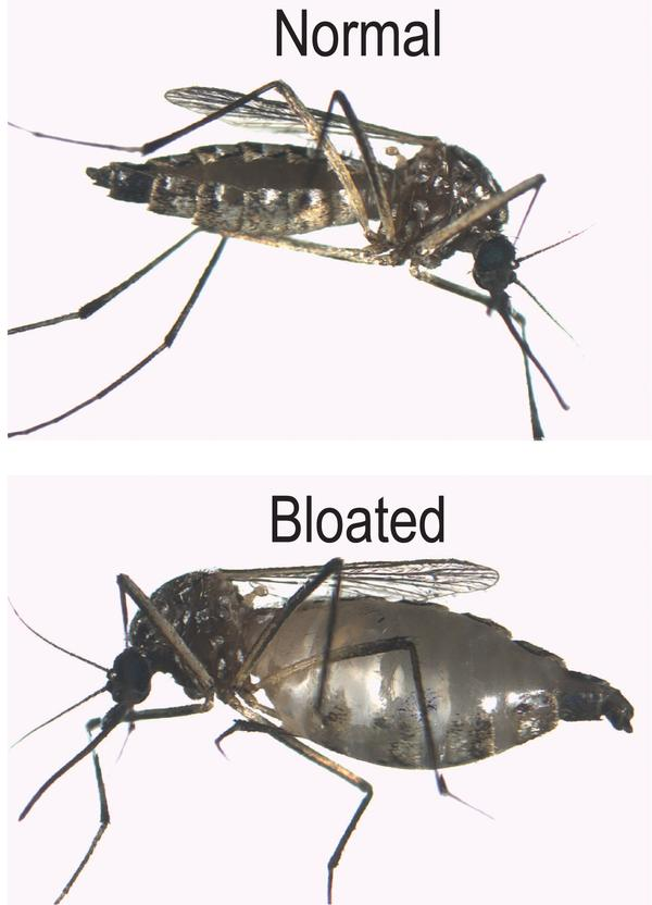 Mosquito before and after blood meal