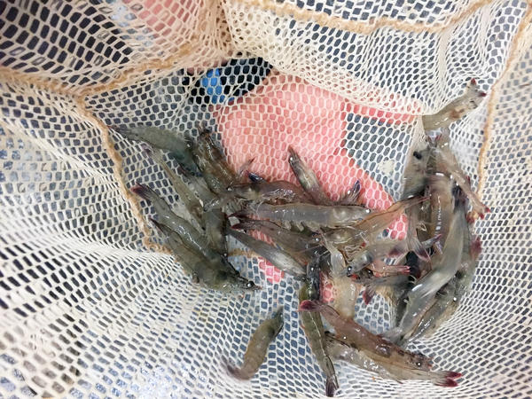 Pacific white shrimp raised in Eco Shrimp Garden's indoor aqua farm in New York's Hudson Valley, which owner Jean Claude Frajmund describes as a spa for shrimp. They grow for six months before they're ready for harvest.