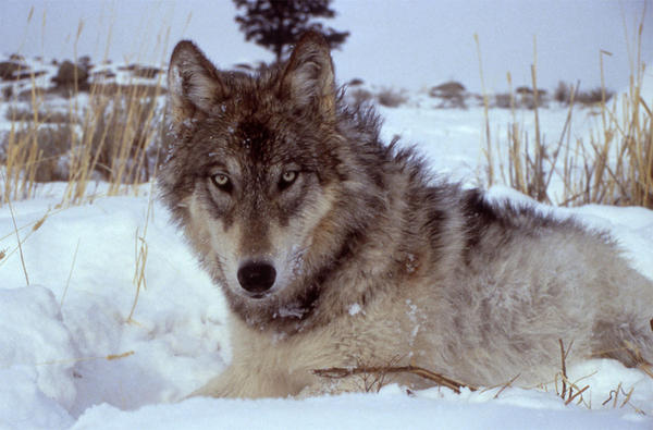 File photo. The Washington Department of Fish and Wildlife has killed six wolves from the Profanity Peak Pack.