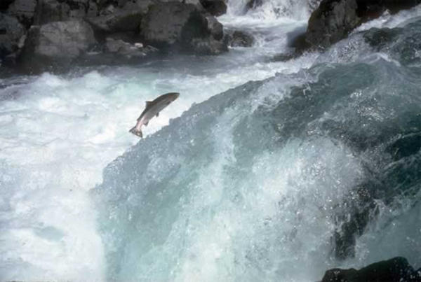 <p>Steelhead jumps a rapid on the North Umpqua River.</p>