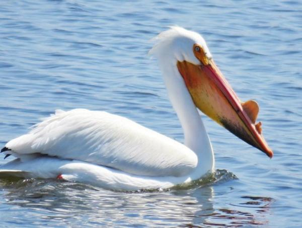 "<p>An American white pelican. The birds commonly grow a ""keel"" on top of their bills each spring. It falls off by the end of each breeding season.</p>"