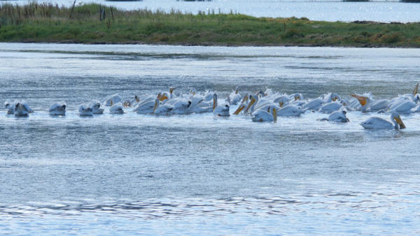 <p>White pelicans aren't normally seen in Puget Sound and birders enthusiasts are trying to find out where these pelicans are visiting from.</p>