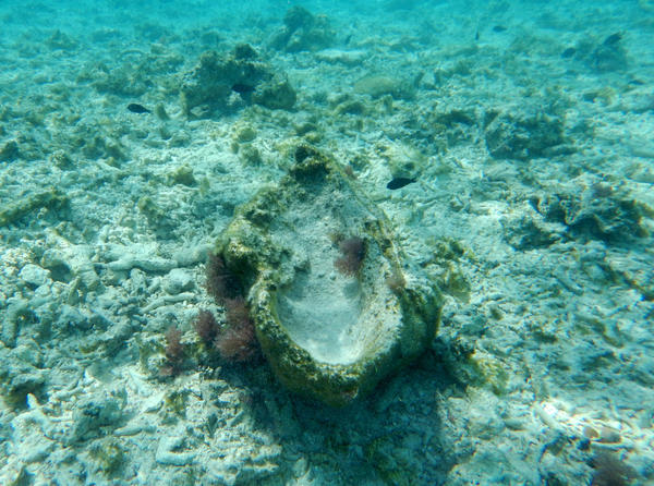 """A giant clam shell, riddled with wormholes, sits amid dead coral from """"chopper"""" boat operations."""