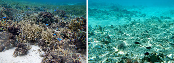 """A generally healthy and diverse assemblage of coral is seen at left within a grassy part of the inner reef flat of the Pag-asa Reef of the South China Sea. At right, coral has been killed after years of giant clam """"chopper"""" boat operations on an unnamed reef to the east."""