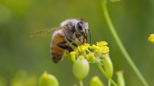 Honeybees are vulnerable to the kind of pesticide sprayed in Dorchester County, but hives — at least those maintained by beekeepers — could have been protected, by the timing of the spraying or by physical barriers. They weren't, and millions of bees died.