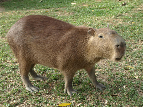 "Way cuter than a python: the capybara is also known as ""chiguire"" in some Latin American countries."