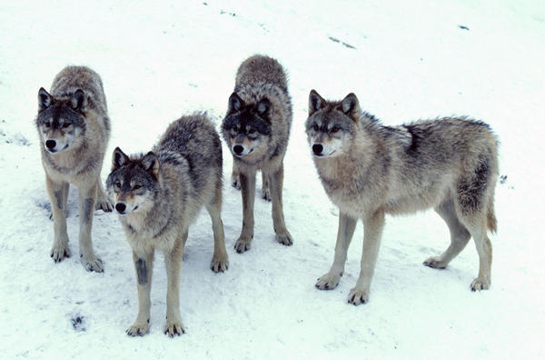 File photo of four members of a wolf pack.