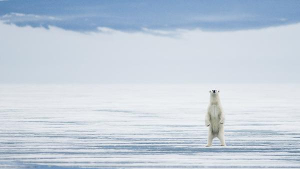 A polar bear stands tall during the summer of 2009 in Svalbard, Norway.