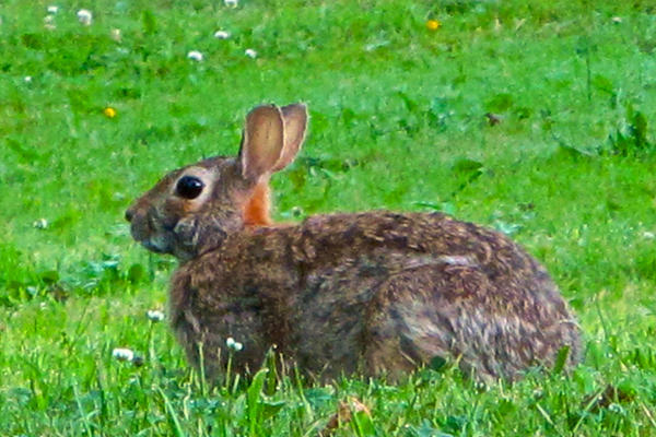 This rabbit wasn't the one killed in Denmark.