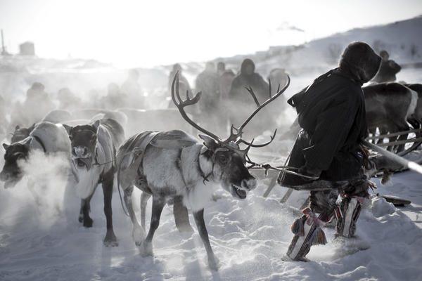 Nenet men hold a reindeer race.