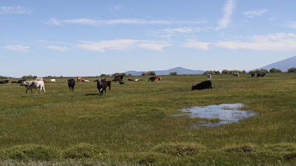 Cattle graze on an irrigated pasture near Ft. Klamath. New rules will prioritize stock water, but not irrigation water, for ranches during a drought in the Klamath Basin.