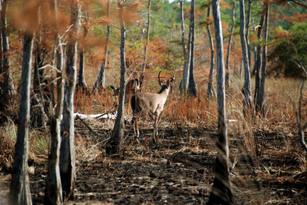 <p>Columbian white-tailed deer numbers have more than doubled since the species was listed as endangered in 1967.</p>
