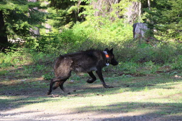 <p>The female wolf OR-28 on the day she was collared on June 7, 2014. She was originally part of the Mt. Emily Pack. OR-28 relocated to south-central Oregon and was found dead on Oct. 6, 2016.</p>