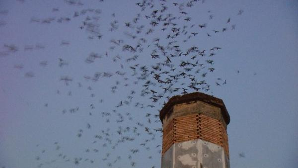 <p>On September evenings, thousands of Vaux's swifts funnel into the chimney at Chapman School in Portland.</p>