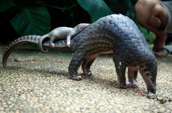 <p>In this Thursday, June 19, 2014 file photo, a pangolin carries its baby at a Bali zoo in Bali, Indonesia.</p>