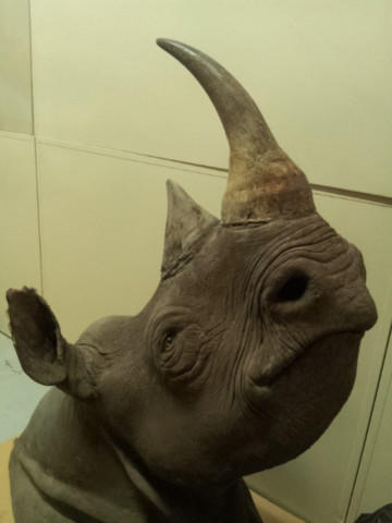 <p>A rhino head confiscated by wildlife enforcement officers. Under Oregon's Measure 100 the buying and selling of such items would be banned by state law. </p>