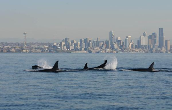 A file photo of orcas in Puget Sound with Seattle in the background. The latest EarthFix Poll surveyed Northwest Residents about a variety off environmental concerns.
