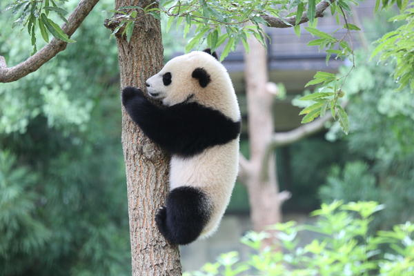 Giant pandas are solitary in the wild, the National Zoo writes, and cubs separate from their mothers to establish their own territories between 18 months and 2 years old.