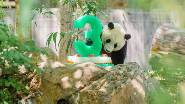 Bao Bao turned 3 this summer. The loan arrangement with China calls for giant pandas born in the U.S. to be sent to China before their fourth birthday. There are about 1,800 giant pandas in the wild, the National Zoo says, and Chinese scientists are working to breed and reintroduce the species to the wild.