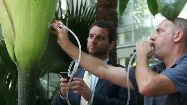 Ari Novy, the U.S. Botanic Garden's executive director, watches Bill McLaughlin, the garden's curator of plants, blow pollen into the base of the D.C. bloom. The pollen was delivered via express mail from the keepers of an Indiana corpse flower named Wally.