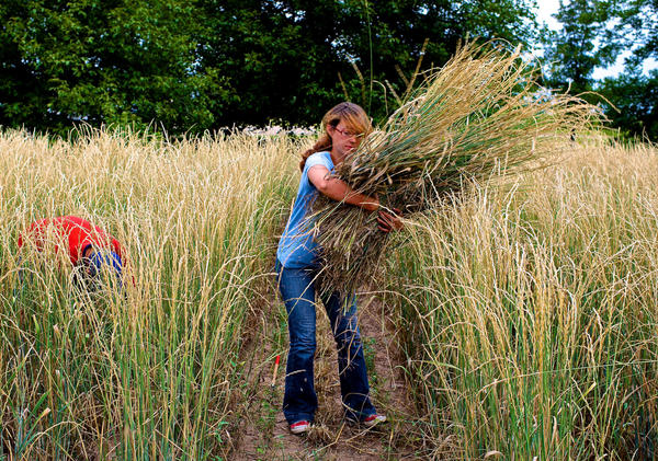 Laura Kemp, a technician at The Land Institute, hand harvests an experimental crop of Kernza in Kansas. Scientists think that this perennial crop could help fight climate change by trapping more carbon in the soil.
