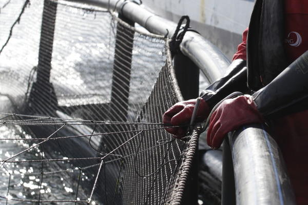 <p>An aquaculture employee standing over a net pen where farmed fish are being raised.</p>
