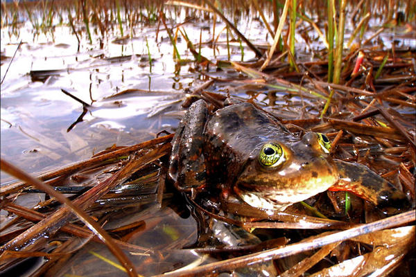 <p>Oregon spotted frog.</p>