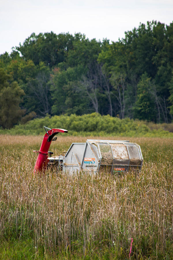 Harvester in the cattails