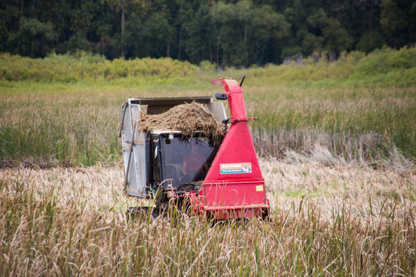 Harvester amid the cattails