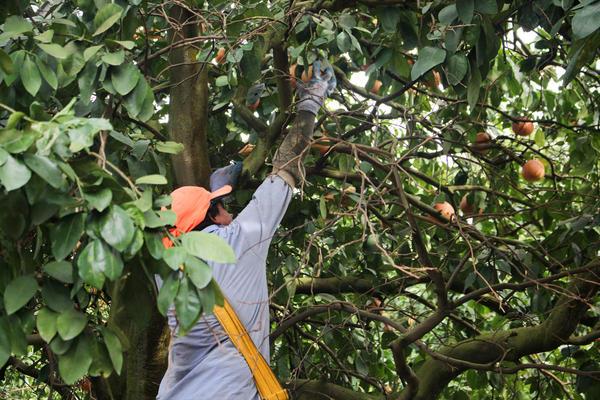 A worker harvests grapefruit near Arcadia, Fla.