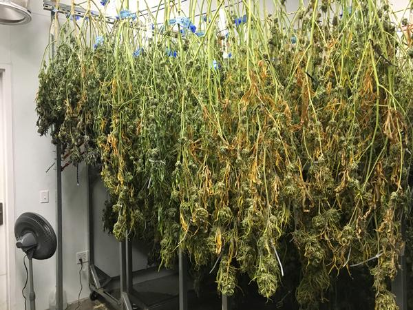 Marijuana plants drying at a growing facility in Denver