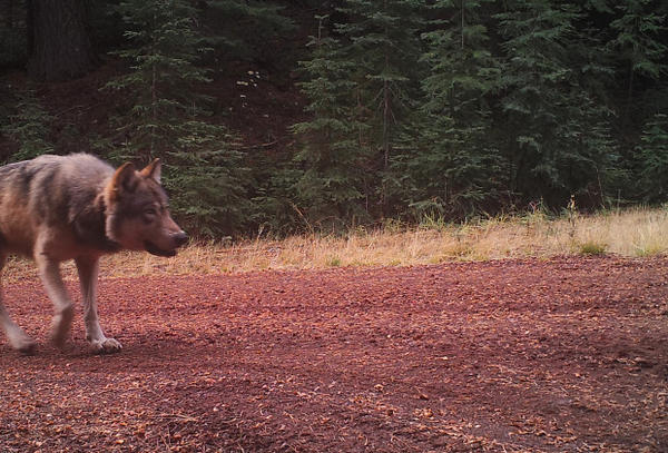 <p>A remote ODFW camera on public land in western Klamath County captured this shot of OR-7.</p>