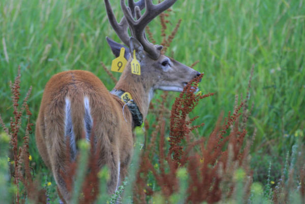 <p>Columbian white-tailed deer have settled into the Ridgefield National Wildlife Refuge since 2013 when the U.S. Fish and Wildlife Service relocated 88 deer to the protected habitat.</p>