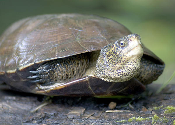 <p>A western pond turtle basks on a log next to a pond at ODFW's Northwest Regional office in Clackamas, Oregon during the spring of 2010.</p>