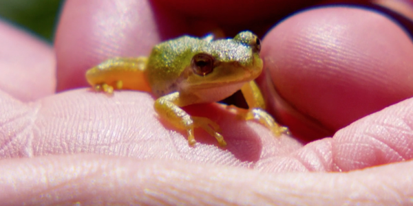 <p>Audrey Hatch holds a Pacific Tree Frog at Finley Wildlife Refuge.</p>