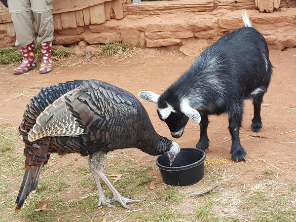Now, here's your moment of Zen: Evie, the three-legged goat, dines politely with her turkey compatriot.