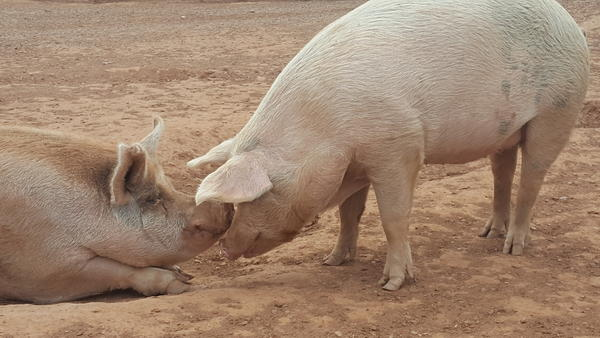 This dinner wasn't just for the birds. These pigs got in on the action, too.